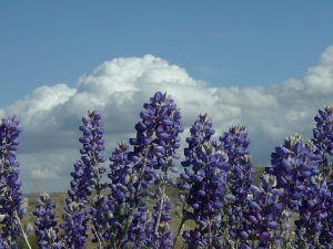 Blue Flowers and Clouds